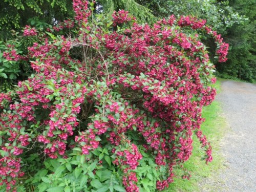 from yesterday, the gorgeous Weigela at Casa Pacifica