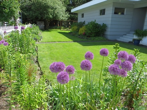 in the picket fence garden:  Allium 'Purple Sensation'.  There should be white 'Everest' too.  Huh.