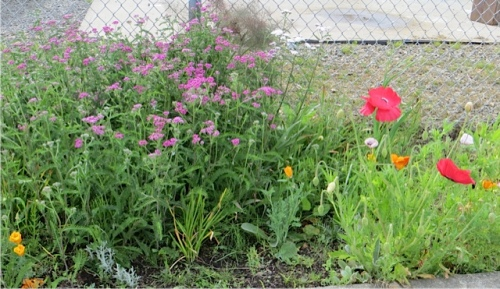 pink achillea (yarrow) and poppies