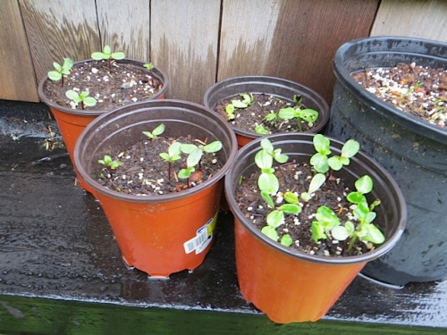 Nancy's sunflower seedlings reminded me that I want to plant some at the Ilwaco post office.