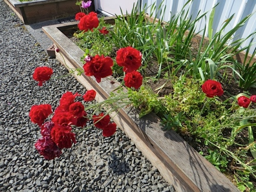 red ranunculus in the Payson Hall planters