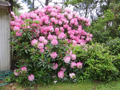 the rhodo by where we park
