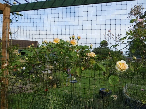 I was so glad to be home to enjoy this rose on the west fence.  Gloire de Dijon, maybe.