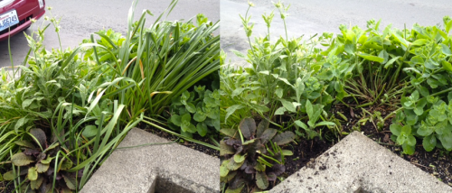 before and after, still looking unlovely because I had cut back the Sedum 'Autumn Joy' recently.