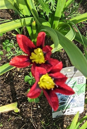 Sparaxis tricolor, a bit out of focus; one of my favourite late spring bulbs