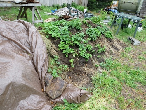 and spuds growing to break down the sod pile