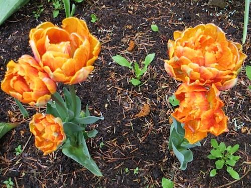 tulips st