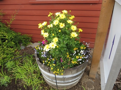 The whiskey barrel that we planted up is a bit hidden now from the front...