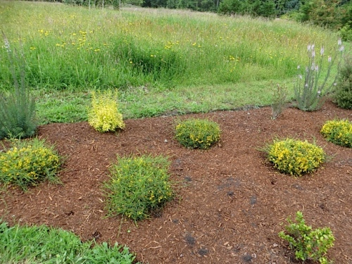another mulched bed with yellow Genista