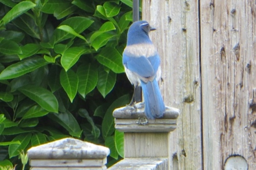 On the front garden fence: a bluebird of happiness because of the weekend off.  (Female jay.)