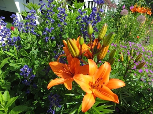 the eye popping orange lily and blue Baptisia combo at its peak