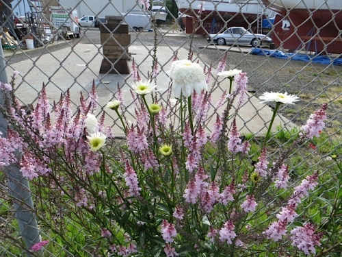 boatyard garden with daisies and toadflax