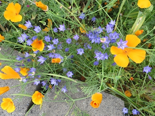 another shade of blue with California poppies