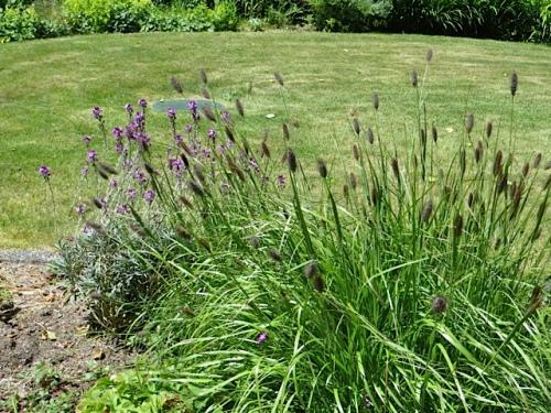 bunny tail grass and Erysimum 'Bowles Mauve'