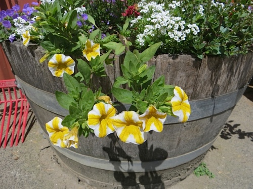 the mouthwatering Calibrachoa 'Lemon Slice'