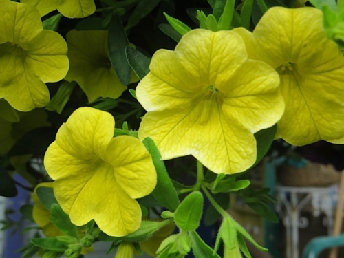 and the hanging basket calibrachoa