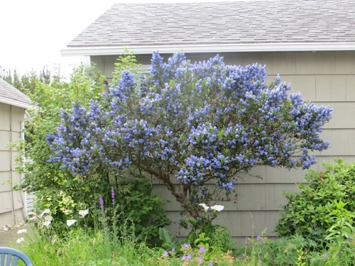 and smitten with the Ceanothus