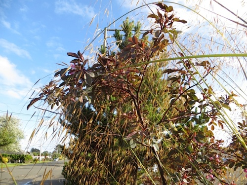 evening light with Rosa glauca and Stipa gigantea