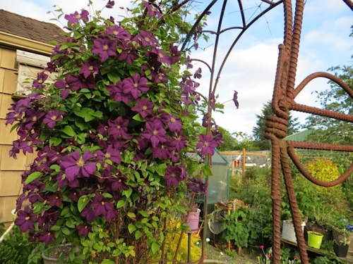 Clematis 'Etoile Violette' on the rebar arbour