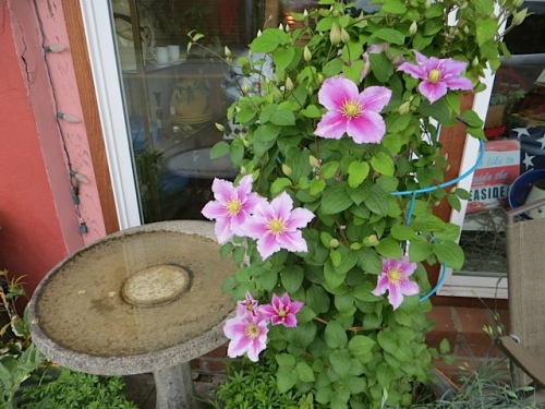 Luanne's clematis is blooming outside the café.