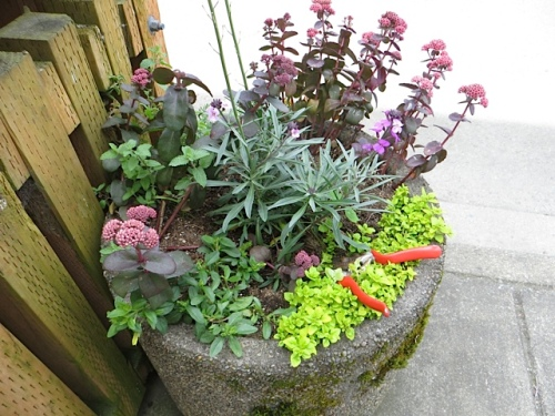 Allan had left his Felco clippers in one of the city planters and they were still there!
