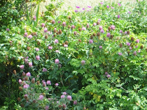 clover entwining a rugosa rose