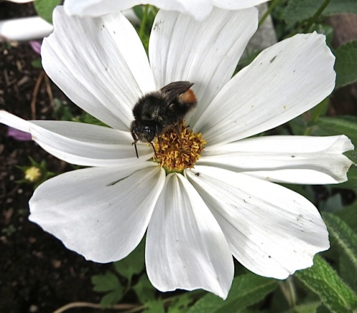 a pollen-laden bee on a Cosmos