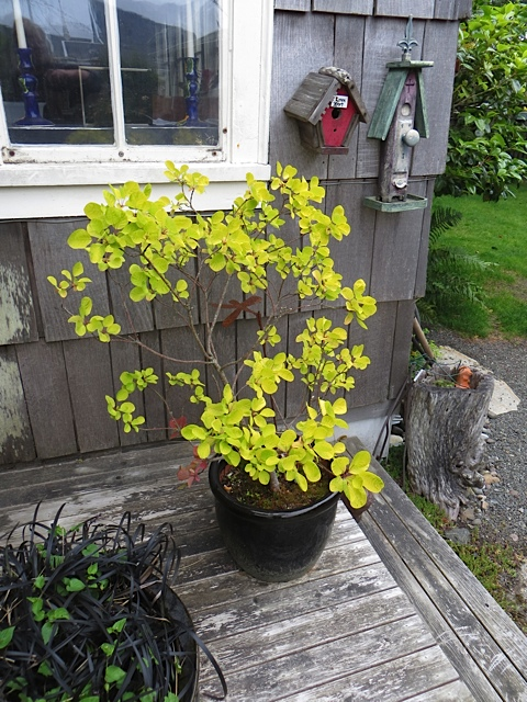 I once got her this Cotinus 'Golden Spirit' and since then have lost mine, so am envious.