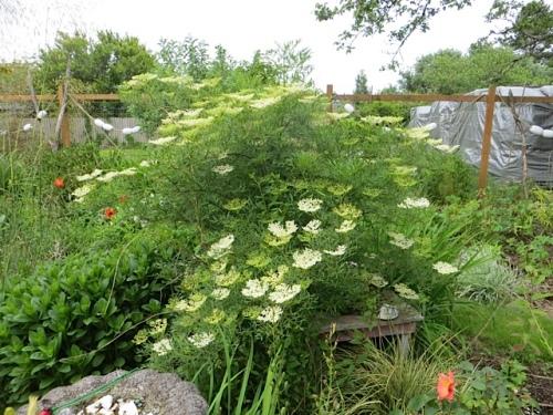 Nearby: my stunning cutleaf elderberry from Joy Creek Nursery