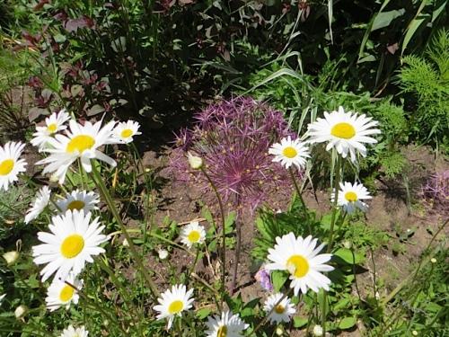 dog daisies and allium albopilosum