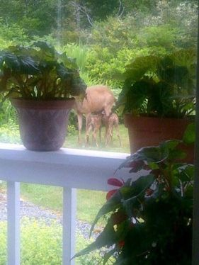 a mama deer and two babies living right in Marilyn's garden