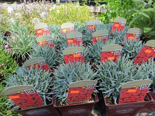 and some Dianthus