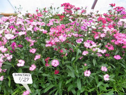 These mixed dianthus are pretty and often come back although they are sold as annuals.