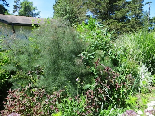 foliage: copper fennel (a noxious weed, kind of) and some Lysimachia purpurea