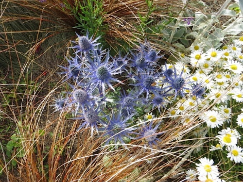 and another Eryngium 'Sapphire Blue', further down Howerton.