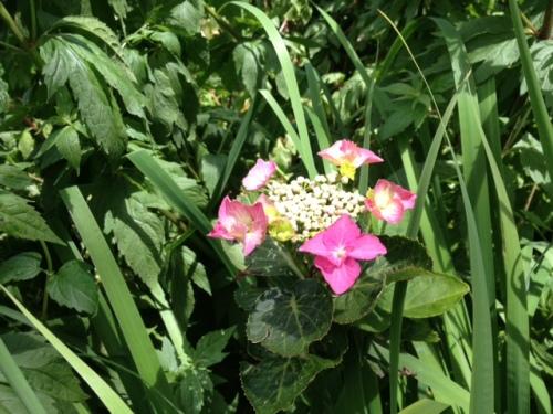 I need to weed around this hydrangea!