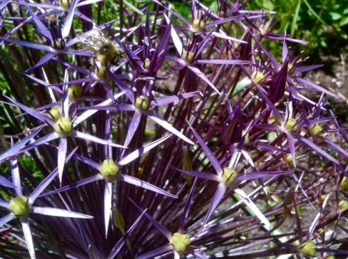 Bees love alliums (Allan's photo)