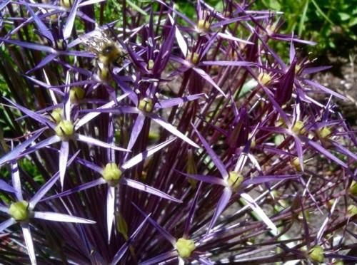 Bees love alliums (Allan's photo)