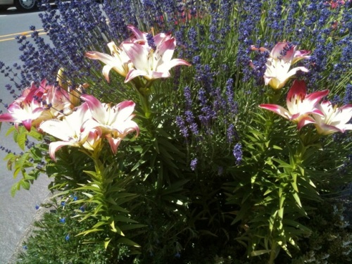 Fifth Street Park planter, Allan's photo, Lollipop Asiatic lilies from back when the planter was done by volunteers.