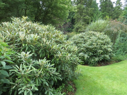All around the edge of the lawn are mature shrubs.  I have learned a new appreciation for rhodos from Stephen and John's garden near where I live.