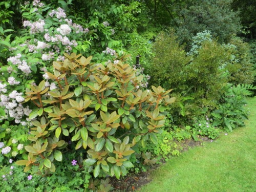 Rhododendron with lovely bronzy indumentum