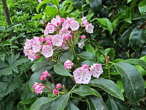 and more kalmia flowers