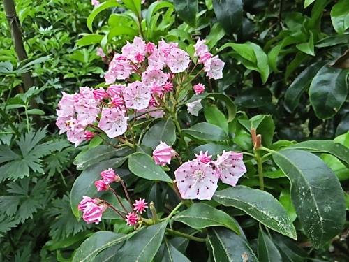 and more kalmia flowers