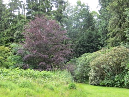 the purple beech again