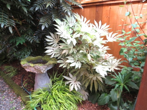 Fatsia japonica 'Spider's Web' (I was thrilled to recognize a plant!)