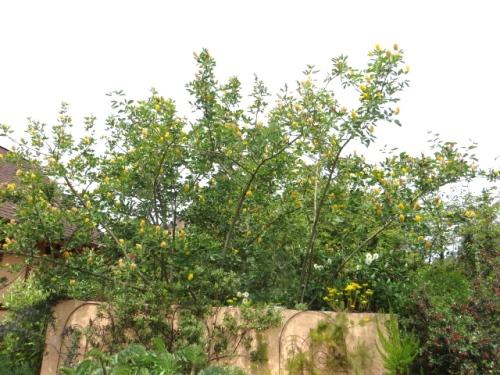 Wow...pineapple broom....Argyrocytisus battandieri...HUGE