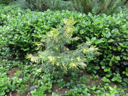 This small conifer spoke to me of my conifer collecting friends Stephen and John.