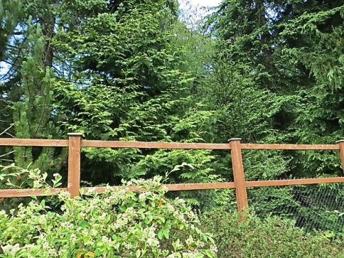 outside the fence, mature conifers