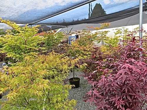 a large area of Japanese maples
