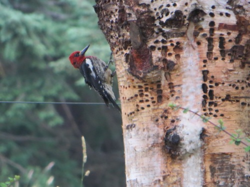 nearby, a woodpecker at work